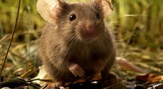 К чему снится мышь