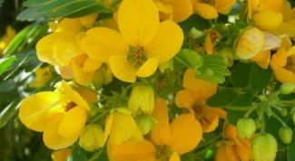 Лист сенны – подарок природы