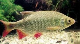 Krasnopuscha - fish is very tasty and tender meat
