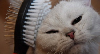 How to brush your cat if it resists strongly