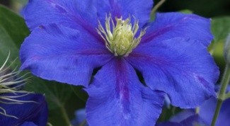 What to feed clematis Regal