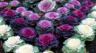 How to grow ornamental cabbage