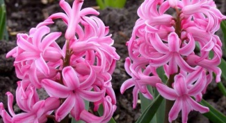 What to do with hyacinth when it bloomed