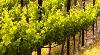 Как размножать виноград: черенками и отводками