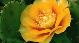 Как ухаживать за цветущим кактусом