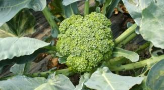 Можно ли сажать капусту брокколи в квартире на подоконнике