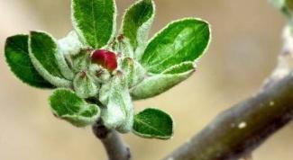 Как проводить посадку яблонь