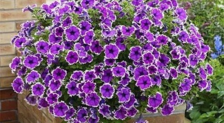 Petunia in pots: care and propagation