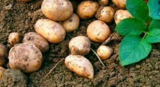Сколько раз за лето нужно поливать картофель на даче