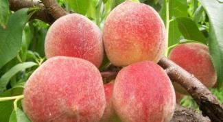 Можно ли привить персик на абрикос