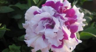 Petunia plush: care, cultivation