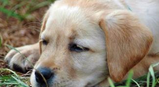 Воспаление параанальных желез у собак: причины, лечение
