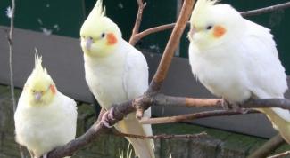 Какой попугай быстрее обучается разговору