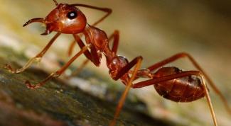 Чем вредны рыжие муравьи