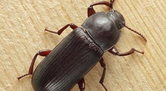 Как бороться с жуком-хрущаком