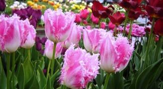 Самые популярные весеннецветущие луковичные растения в России