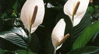 Спатифиллум: почему сохнут кончики листьев