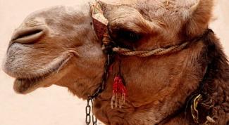 Что лучше: изделия из шерсти яка или верблюда