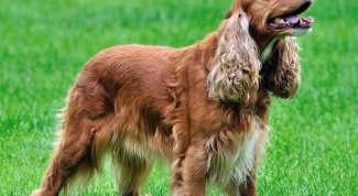 Spaniel: types and characteristics of content