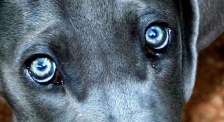 Коньюктивит у собак: диагностика и лечение