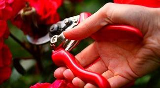 Нужно ли на зиму обрезать розы