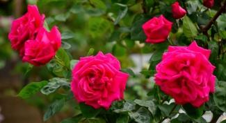 В каком месяце можно высаживать в грунт розы: особенности
