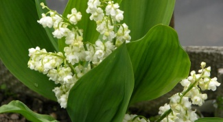 Why not blooming lilies of the valley