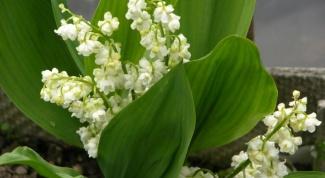 Почему не цветут ландыши