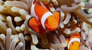 Как содержать рыбу-клоуна дома