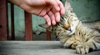 Как проводят лечение у кошек микоплазмоза