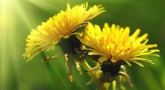 What medicines can be made from dandelion