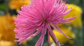 Хризантема из бисера: мастер-класс