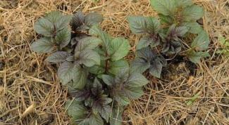 Как посадить картошку под сеном