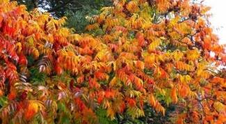 Декоративные кустарники: уксусное дерево