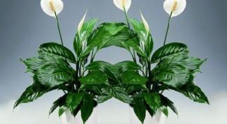Почему спатифиллум не цветет