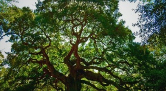 How to transplant oak from the forest in the garden