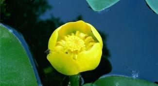 Как вырастить кубышку желтую