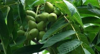 Сколько растет грецкий орех до плодоношения