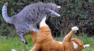 Почему кошки дерутся с котами