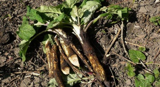 How to drink burdock root with the fibroids
