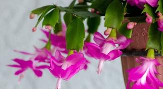 Декабрист: уход за рождественским кактусом