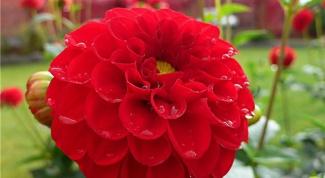 Георгин в саду: советы по уходу