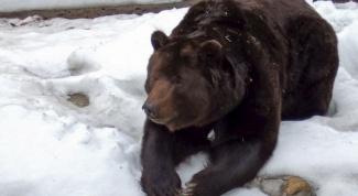Как спит в берлоге медведица