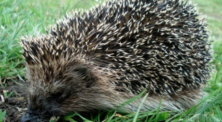What to feed a hedgehog