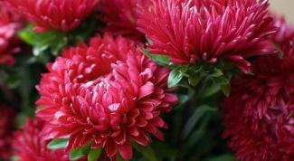 Что необходимо для обильного цветения астры однолетней