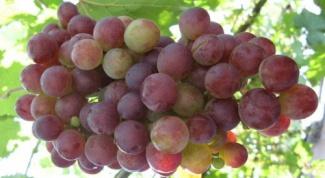 Полезные свойства винограда Лидия