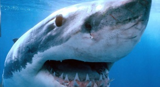 Чем питаются акулы