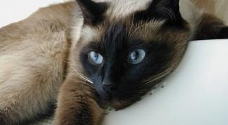 Как разводить сиамских котят
