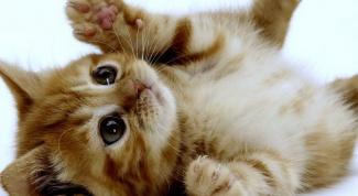 Какие прививки делать домашнему коту