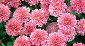 Как сажать хризантему осенью